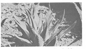 Fig. 3. H. mirabilis var rubrodentata, Genadendal.